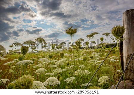 Rural fields of the wildflower Queen Anne's lace. - stock photo