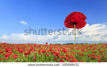 Rural fields of wild poppies on a sunny summer day - stock photo