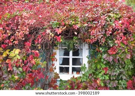 Rural house window twined with autumn virginia creeper (Parthenocissus quinquefolia) - stock photo