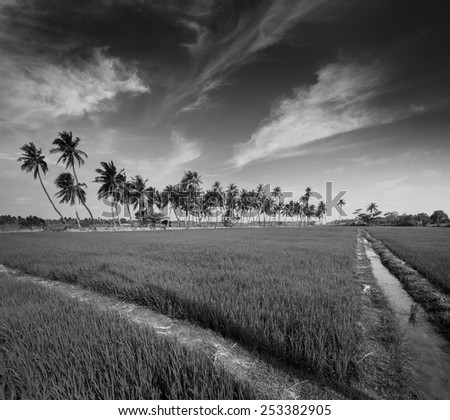 Rural Indian scene - rice paddy field and palms. Tamil Nadu, India. Black and white version - stock photo