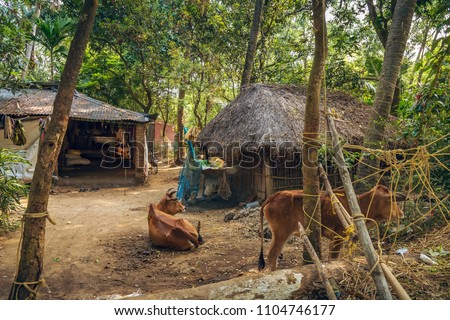 Rural Indian Village Scene With Thatched Huts And Cattle Near Balasore Orissa India