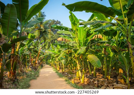 Rural landscape common road through banana plantation in India - stock photo