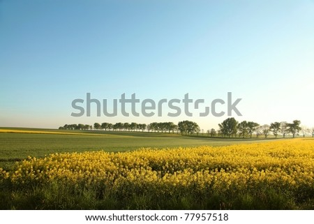 Rural landscape in a sunny cloudless morning with a field of rapeseed in the foreground. - stock photo