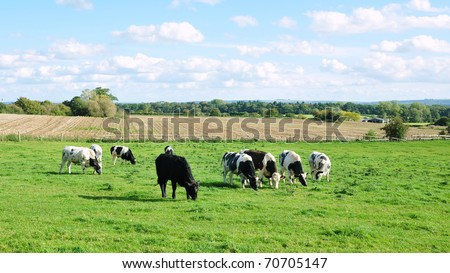 Rural Landscape of Cattle Grazing in a Green Field in Summer - stock photo