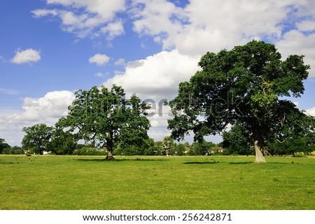 Rural Landscape View of Beautiful Oak Trees Standing in a Green Field in Summer - stock photo