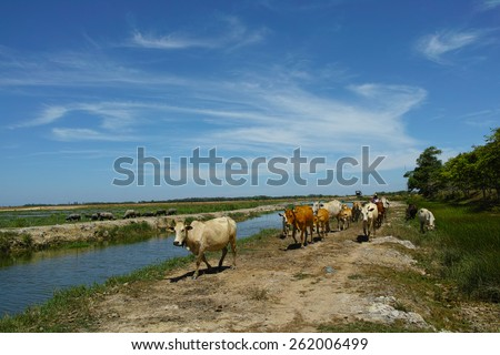 Rural landscape with cows herd - stock photo