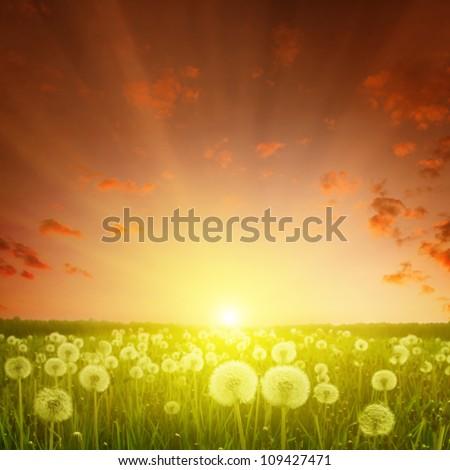 Rural landscape with dandelion field during sundown. - stock photo
