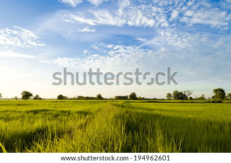 Rural landscape with Green Way in wheat field