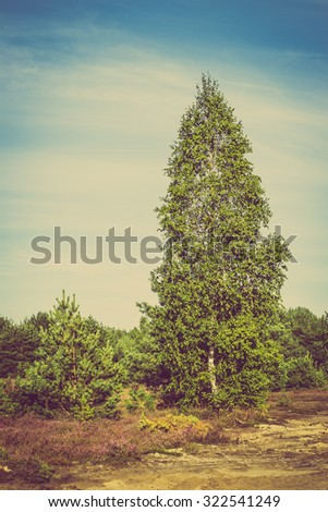 Rural landscape with lonely birch tree in young pine forest. Field of heather around, vintage photo. - stock photo