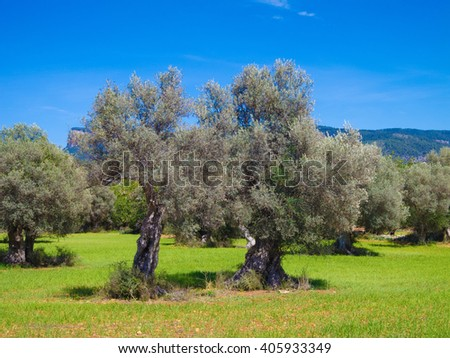 rural landscape with olive trees in a field
