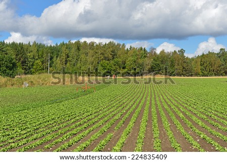 Rural landscape with scarecrow. Vegetable cultivation - stock photo