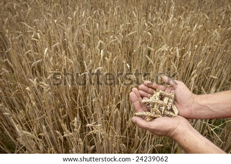 rural landscape with wheat field during daytime