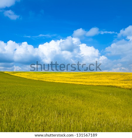 Rural landscape. Yellow and green wheat field with cloudy blue sky. Spring season in tuscany, classic italian landscape.
