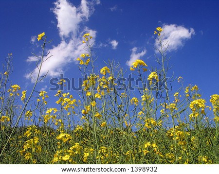 Rural Meadow Covered with Yellow Flowers (Sinapis arvensis)