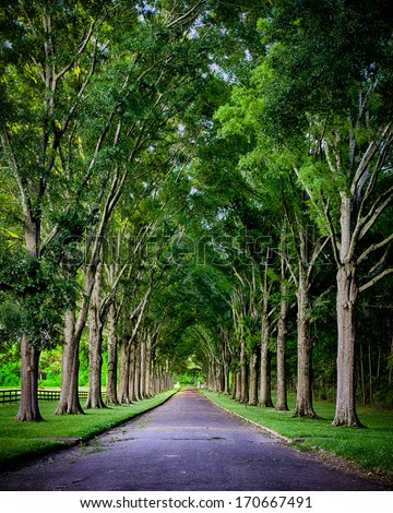 Rural road lined by oak trees - stock photo