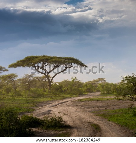 Rural road with acacia tree in Africa - stock photo