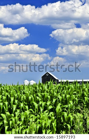 Rural summer landscape with green corn field and a farm - stock photo