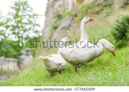 Rural white geese grazing green grass and walking around the farms courtyard - stock photo