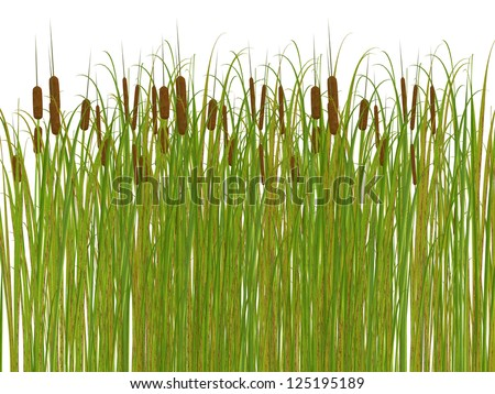 rush and grass isolated on white background - stock photo