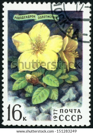 RUSSIA  - CIRCA 1977: stamp printed in USSR (CCCP, soviet union) shows golden rhododendron (azalea, lights, torch) from Siberian flowers series, Scott 4569 A2166 16k blue yellow green, circa 1977 - stock photo