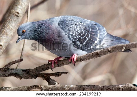 Russia, Moscow, Timirjazevsky park.  Columba livia. Rock Dove is in the nature. - stock photo