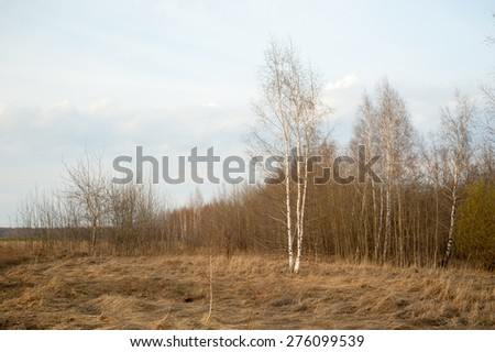 Russia. Spring landscape. Young birch trees near the forest. - stock photo