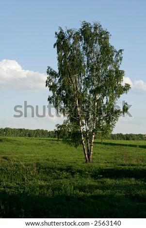 russian birch at summer evening - stock photo