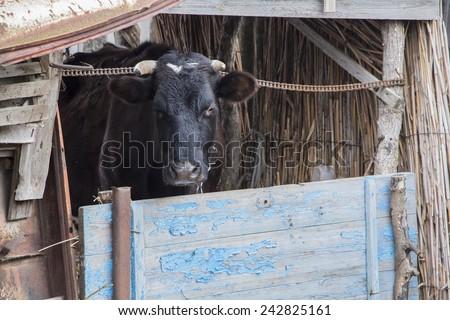 Russian black cow - stock photo