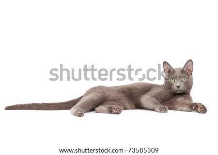 Russian blue cat - stock photo