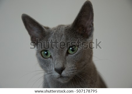 Russian blue cat front head detail