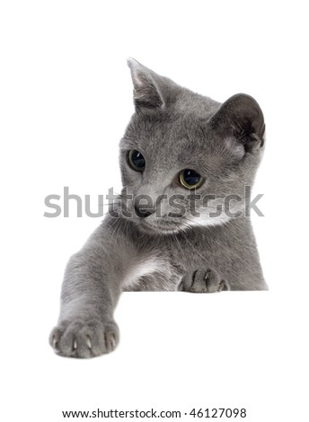 Russian blue cat isolated on white - stock photo