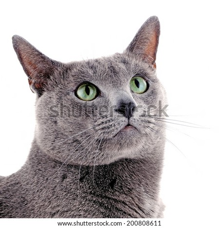 Russian blue cat isolated on white background - stock photo