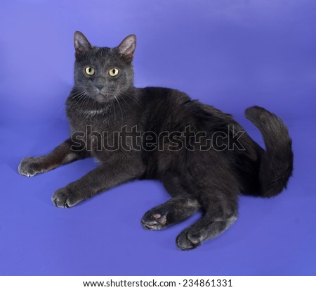 Russian blue cat lies on lilac background