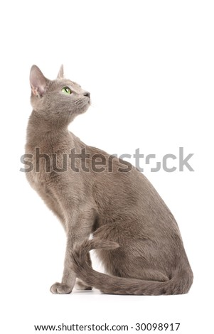 Russian blue cat looking up - stock photo