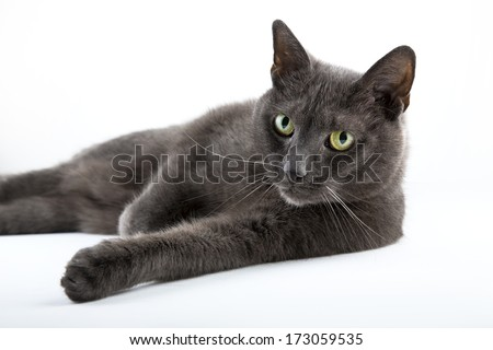 Russian blue cat on isolated white background - stock photo