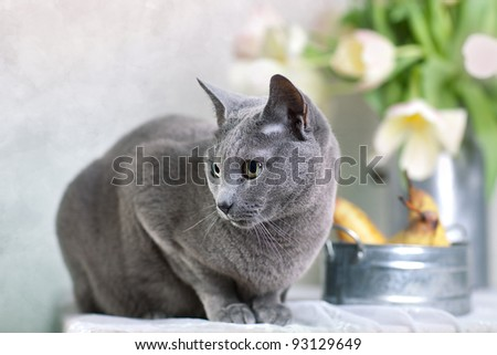 Russian Blue cat on Table with bowl of fresh Pears and Tulips - stock photo