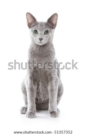 Russian blue cat on white background - stock photo