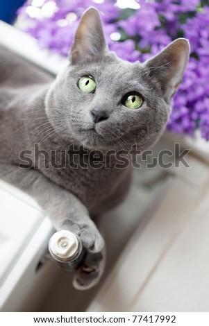 Russian Blue Cat relaxing on radiator under window - stock photo