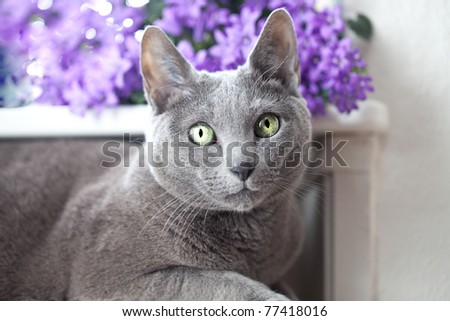 Russian Blue Cat relaxing on radiator under window - stock photo