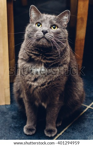 Russian blue cat sitting and waiting - stock photo