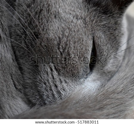 Russian Blue Cat Sleeping with tail around her head.