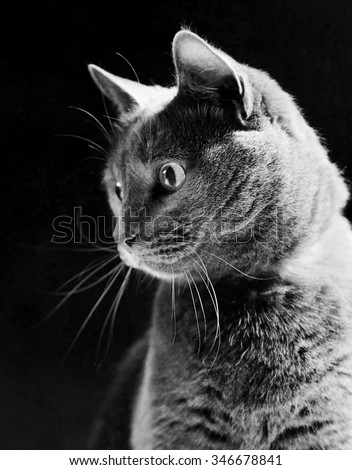 Russian Blue Cat, studio shot, on dark brown background