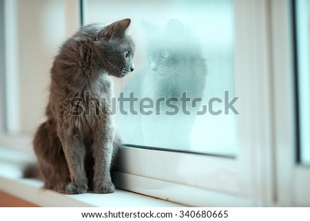Russian blue cat with its reflection in the window  - stock photo