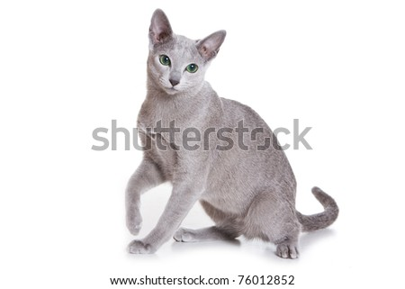 Russian Blue isolated on white