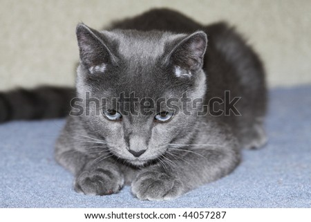 Russian blue kitten - stock photo