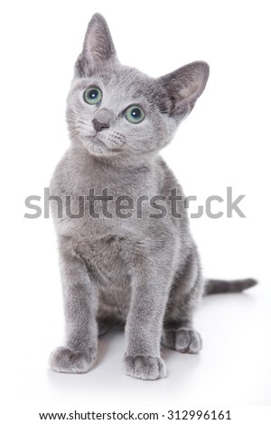 Russian blue kitten looking up (isolated on white) - stock photo