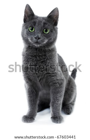 russian blue kitten three month old