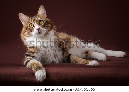 Russian Bobtail cat lying  on brown background - stock photo