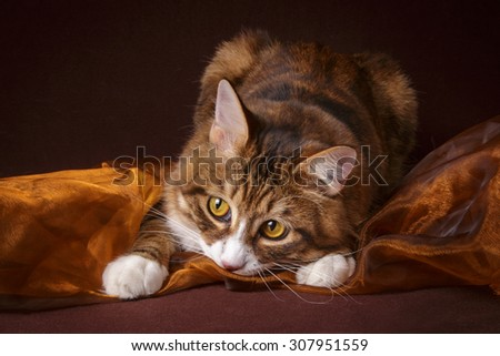 Russian Bobtail cat playing on brown background - stock photo