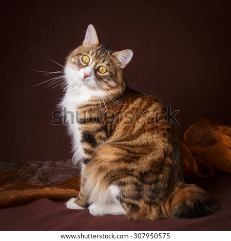 Russian Bobtail cat sitting  on brown background - stock photo